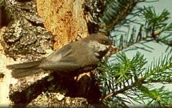 Field Notes: Boreal Chickadee