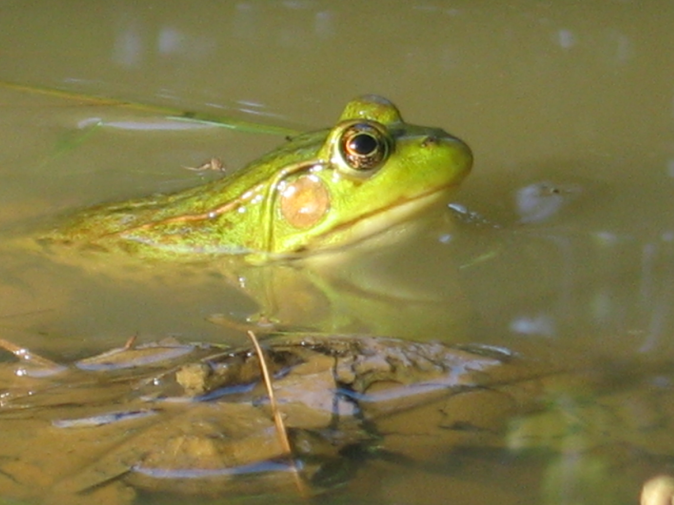 Summer Frogs Singing And Sitting On Pads