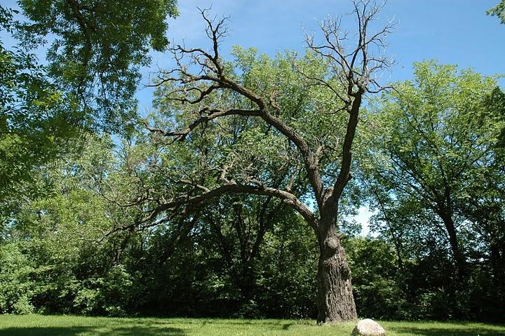Oak Tree Tricentennial