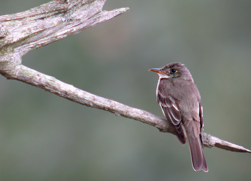 Field Notes: Wood Pewee