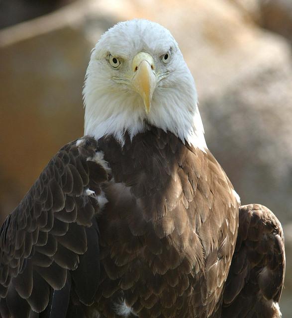 Field Notes: Bald eagle