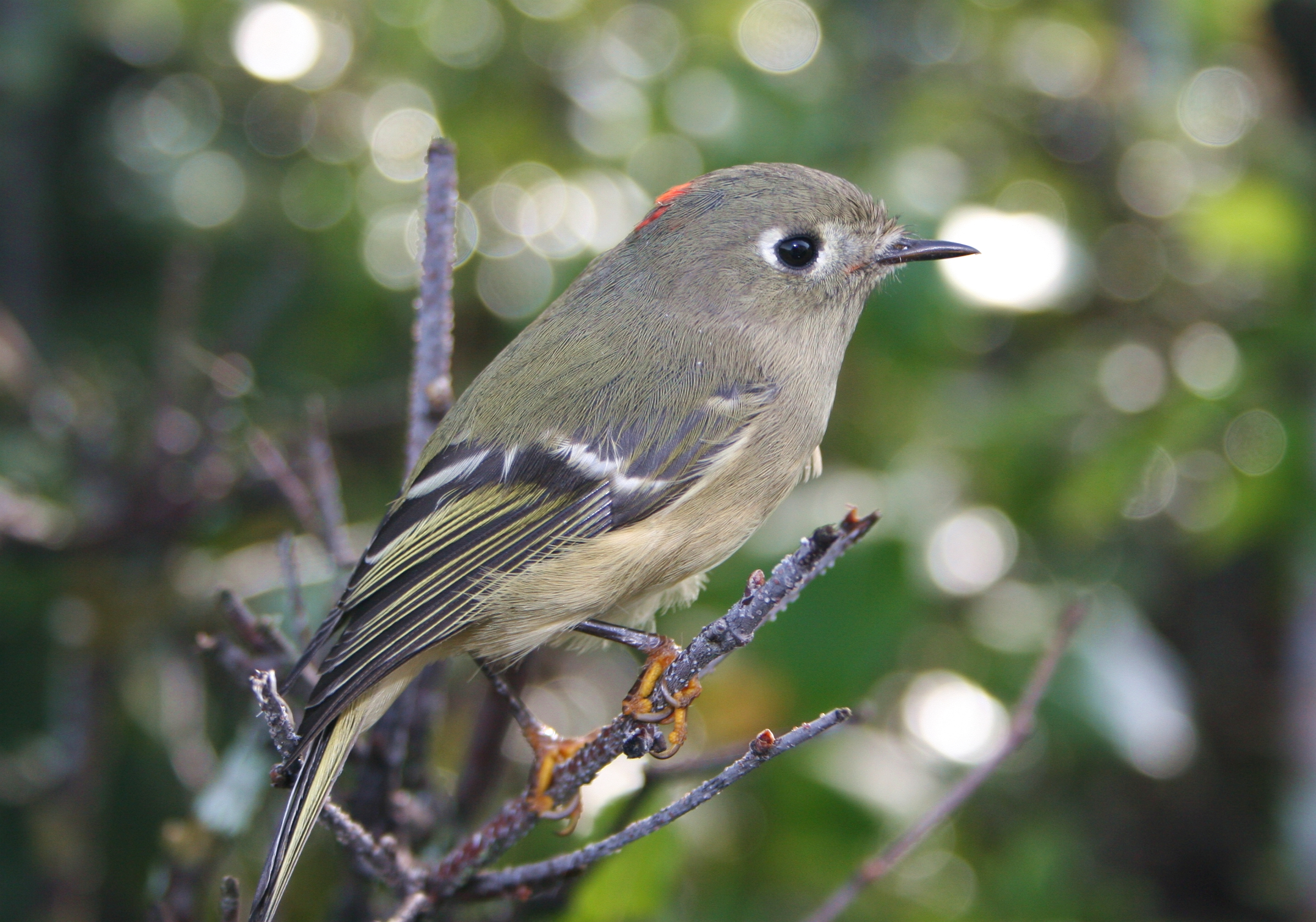 Field Notes: Ruby-Crowned Kinglet