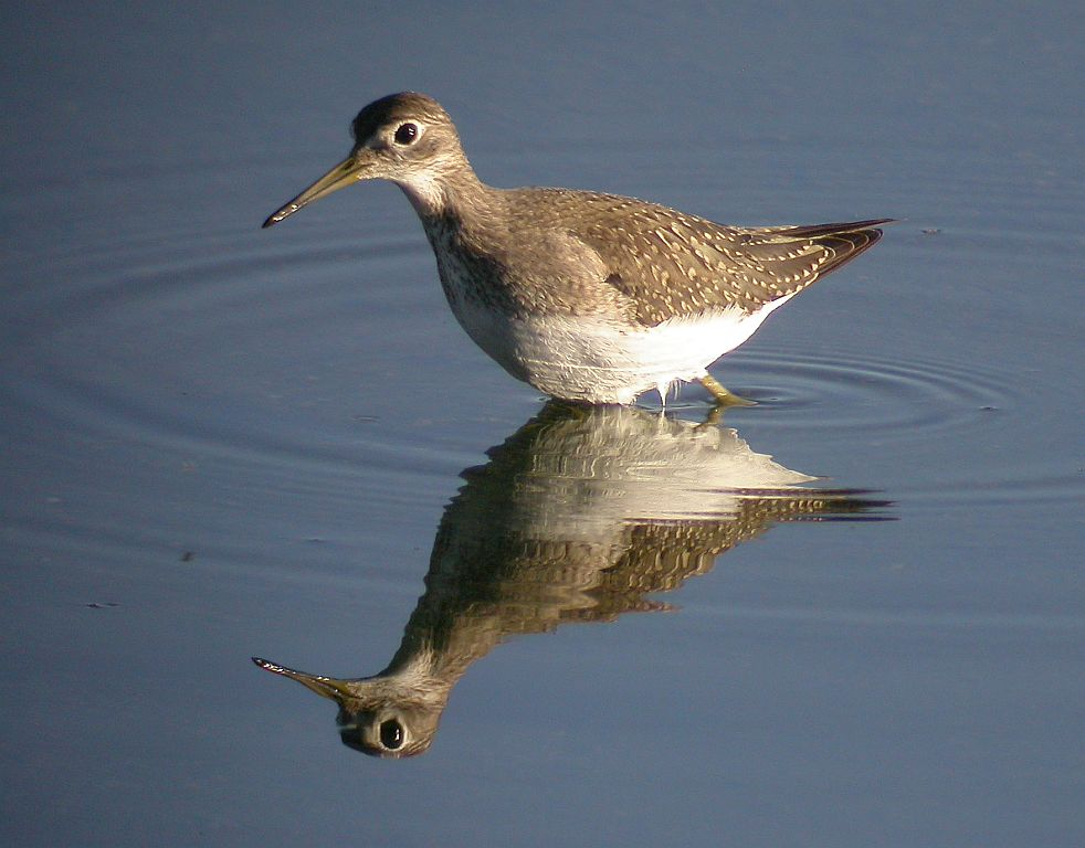 Field Notes: Solitary Sandpiper