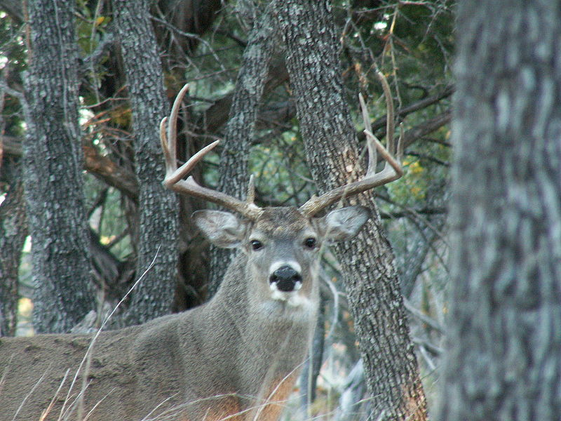 Whitetail Encounter Draws A Snowy Curtain On 2010 Hunt