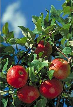 MN90: Minnesota's Super-Apple