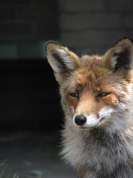 The Sometimes Secretive, Sometimes Obvious Red Fox