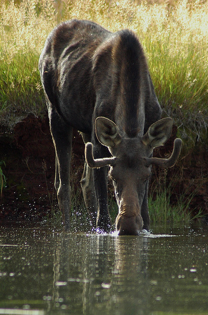 Seeking Answer To Moose Decline—Before It's Too Late