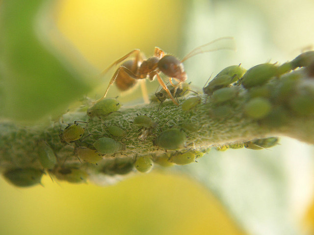How ants and plants help one another