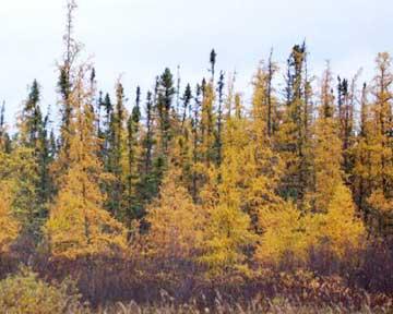 Golden trees — tamaracks