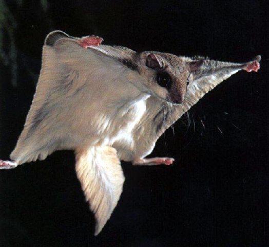 Fascinating flying squirrels