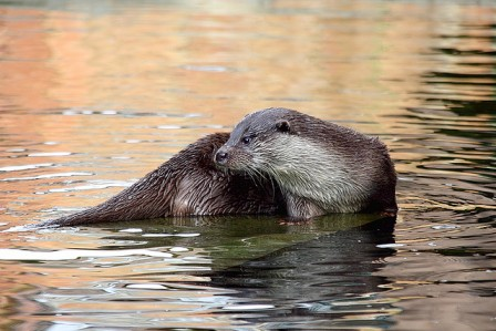Otter techniques for coping with cold weather
