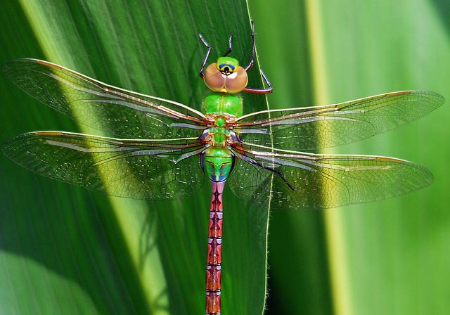 Dragonflies Migrate, Too