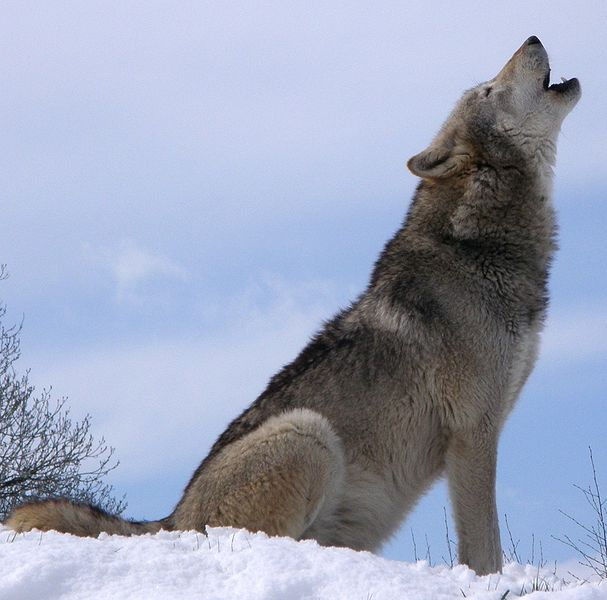 No fall wolf hunt on Grand Portage tribal lands