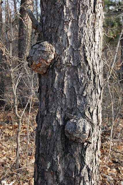 """Burls are more than """"bumps on a log"""""""