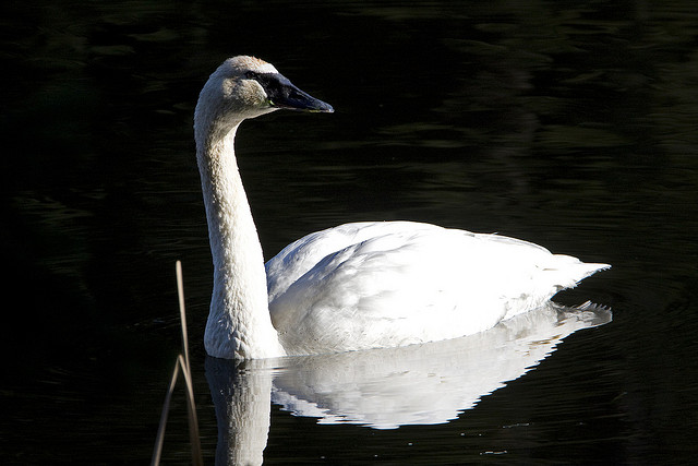 Trumpeter swans coming back in Minnesota