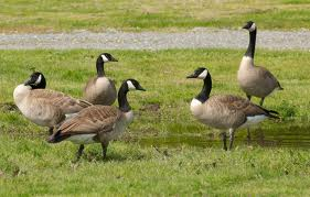 A recovery success story: Canada geese