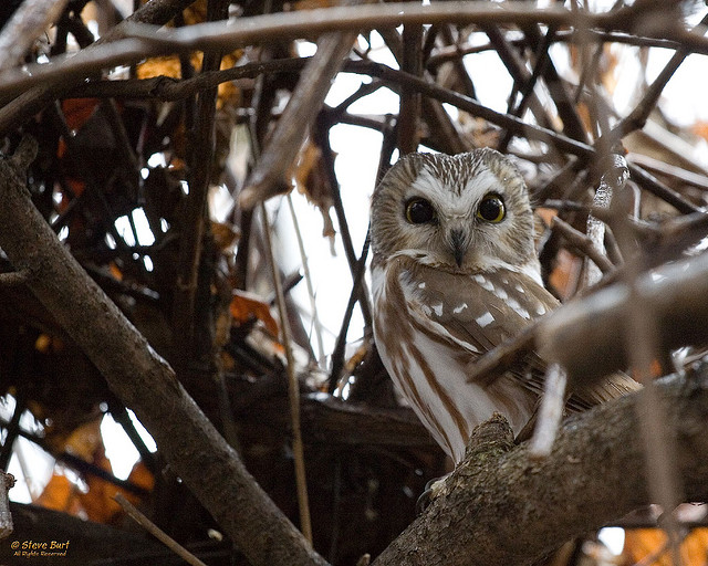 Saw whet owl migration mysteries