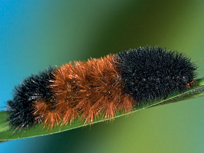 Wooly Bear Caterpillars: Harbingers of a Real Minnesota Winter