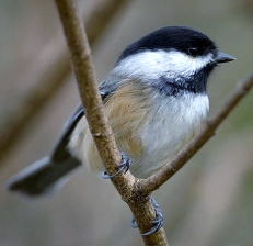 Bird Songs of the Northland