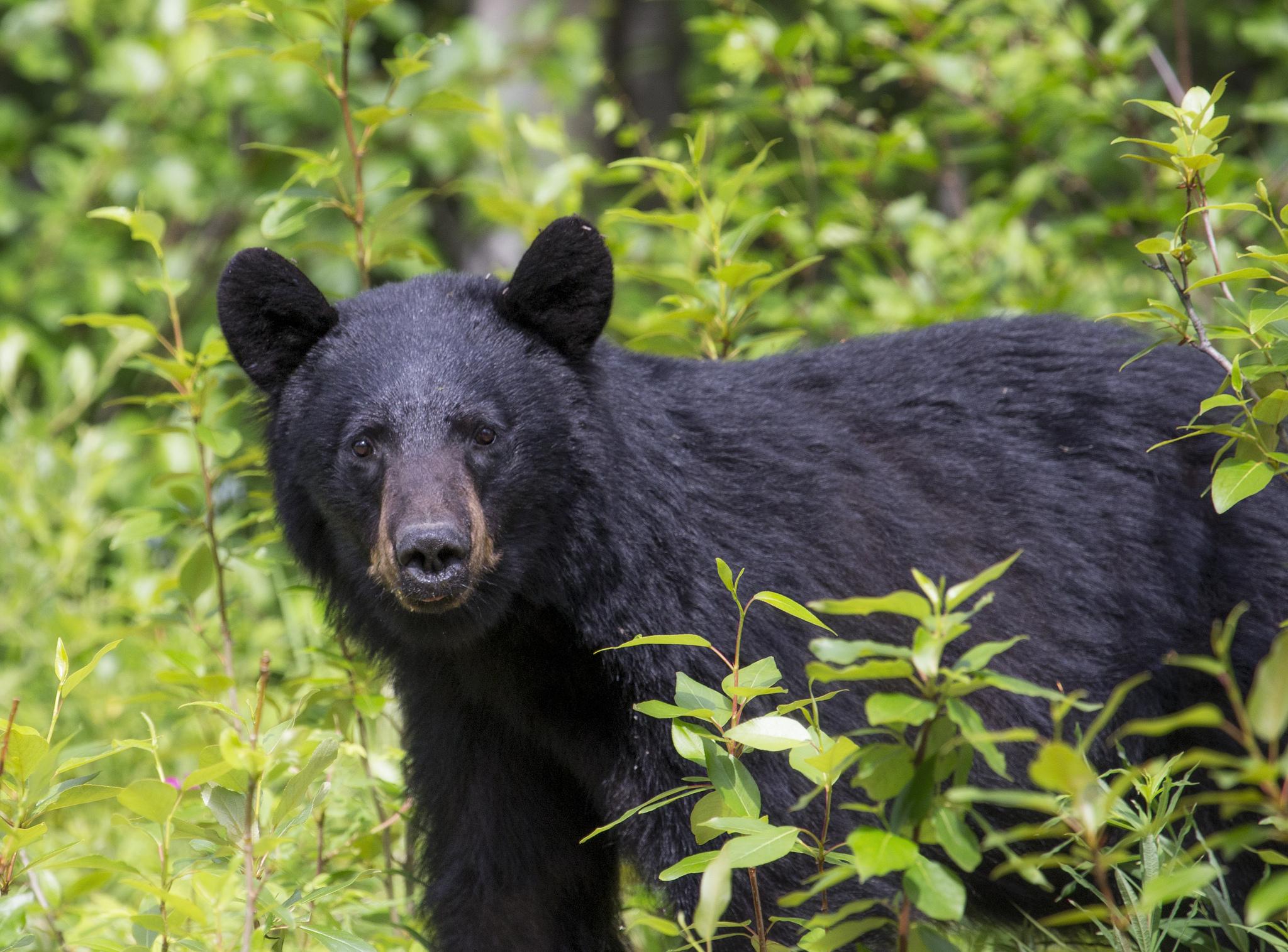 Late June Bear Encounters