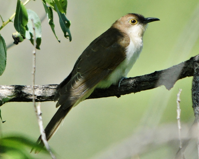 Black-Billed Cuckoo, Redstart, Vireo and Chipping Sparrow