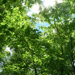 Healing Birch Tree