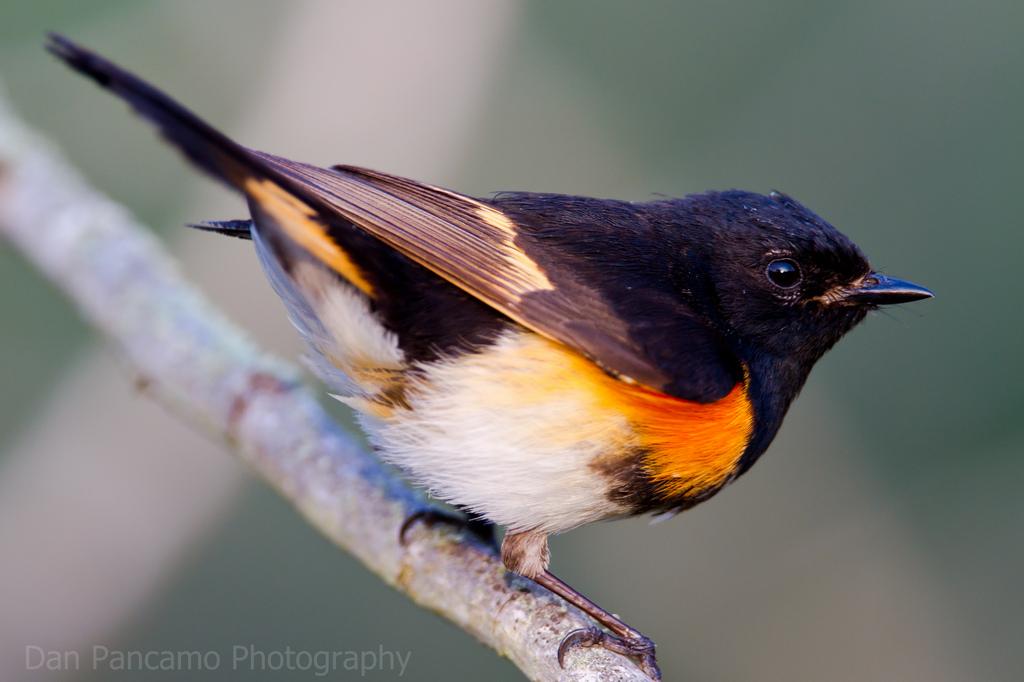 Black-Throated Green Warbler, Veery, Ovenbird and American Redstart