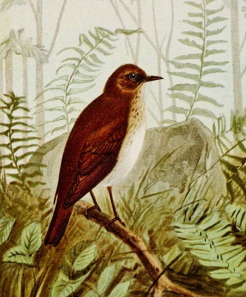 Veery and Least Flycatcher