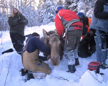 Dr. Seth Moore discusses Grand Portage request that Governor change moose collaring stance