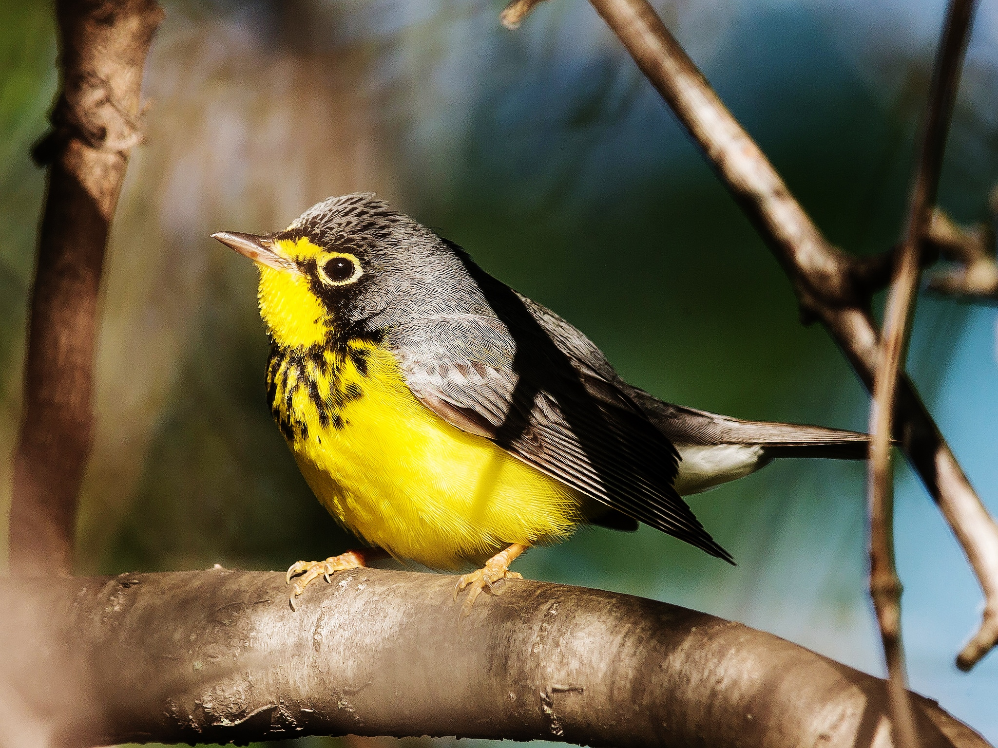 Field Notes: Canada warbler