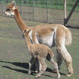 Scott & Linda Elmore: Foothills Alpaca Farm