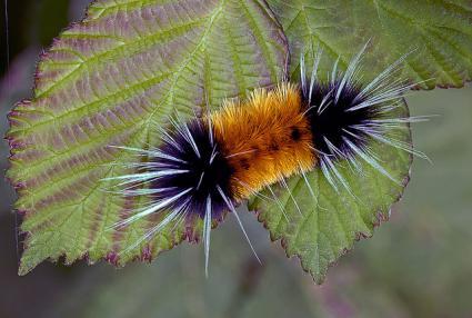 Wooly bear caterpillars