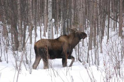 Grand Portage moose count finds numbers stable, animals healthy