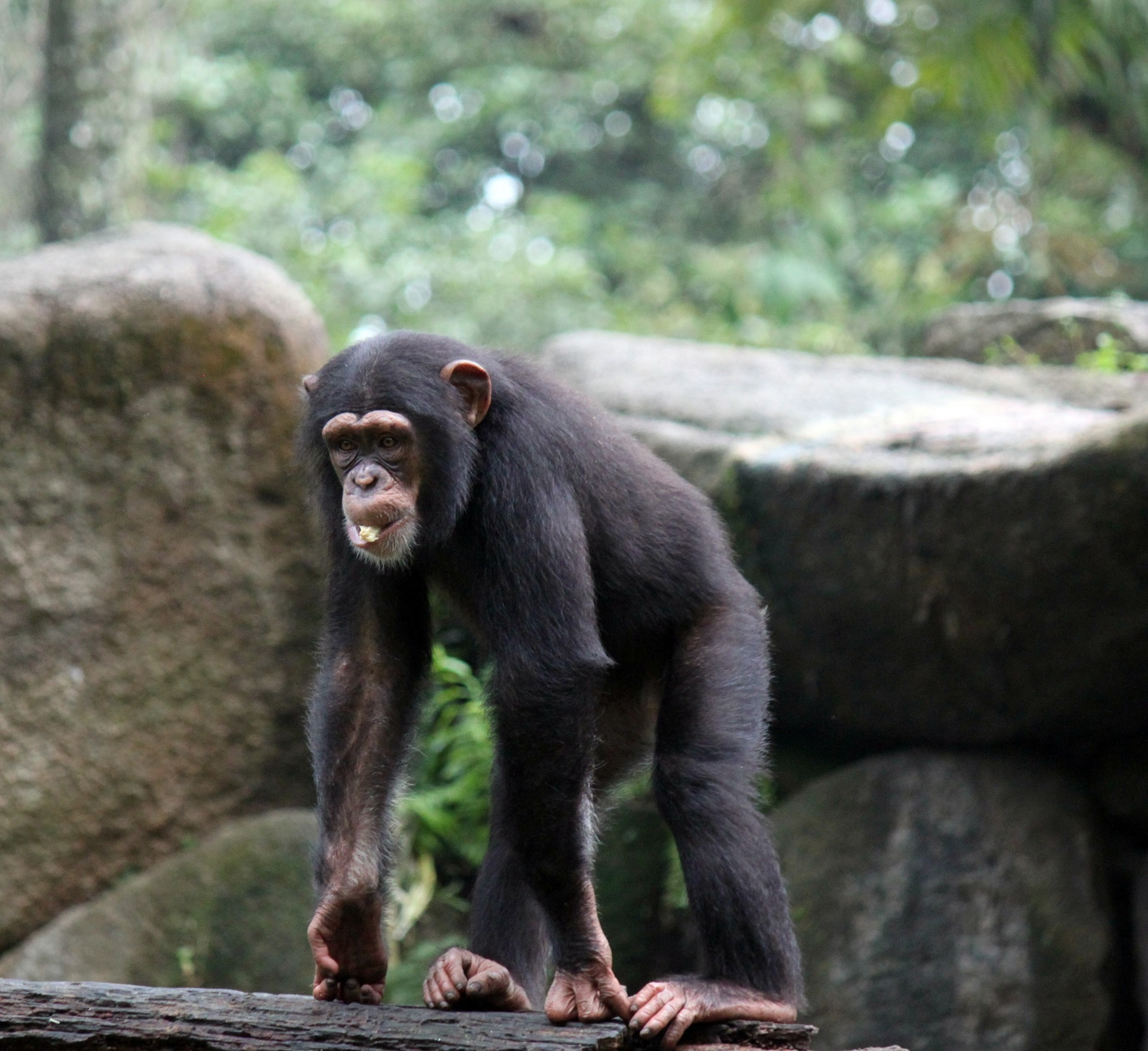 MN90: Studying Chimps with SIV