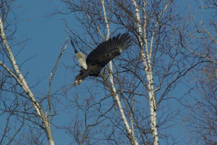 Eagles kettling