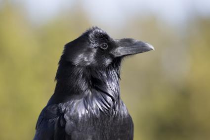 North Woods Naturalist: Ravens