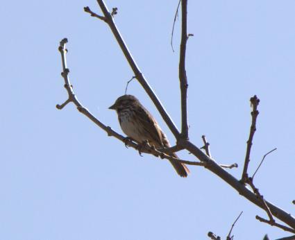 North Woods Naturalist: Bird songs