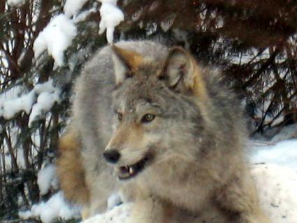 Blueberries are a big part of wolves' summertime diets