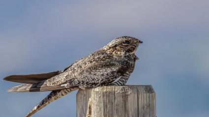 Nighthawks and dog-day cicadas