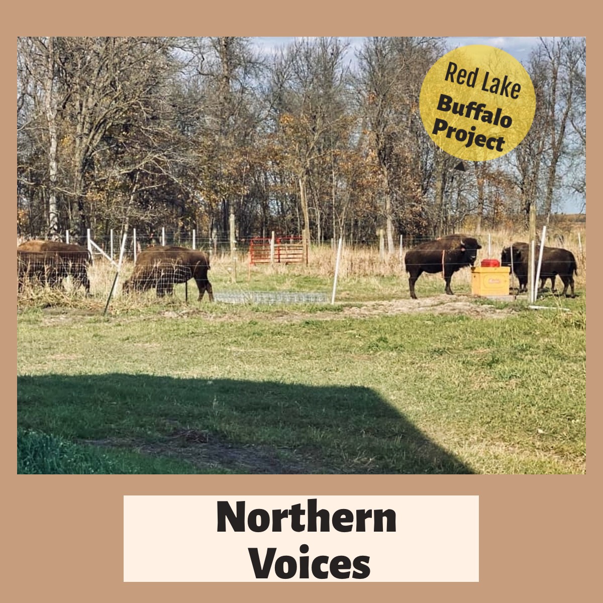 Northern Voices: Episode 28 – Red Lake Buffalo Project