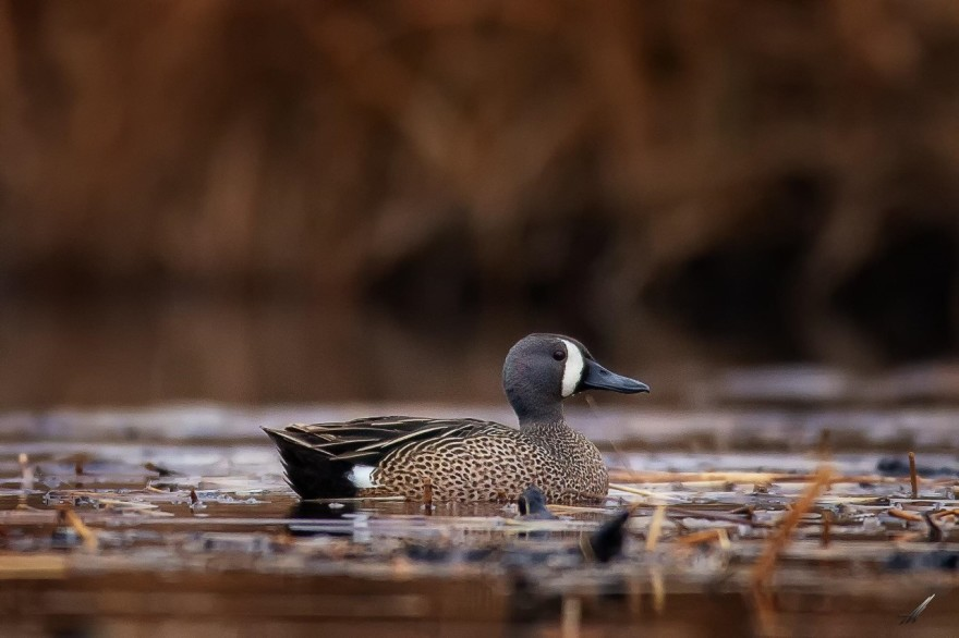 Ducks, Drought, and Teal Season: A conversation with MN DNR's Steve Cordts